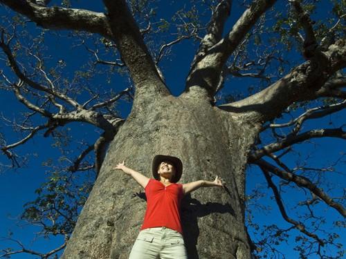 Boab Tree Kimberley
