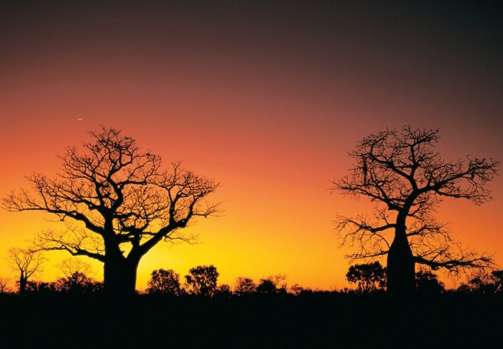 The Boab Trees of the Kimberley