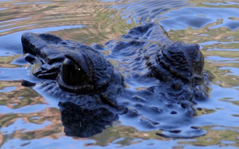 Ord River Crocodile